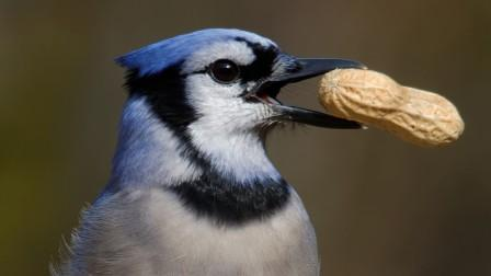 blue jay with a peanut in its beak